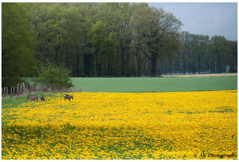 grazing on a yellow meadow
