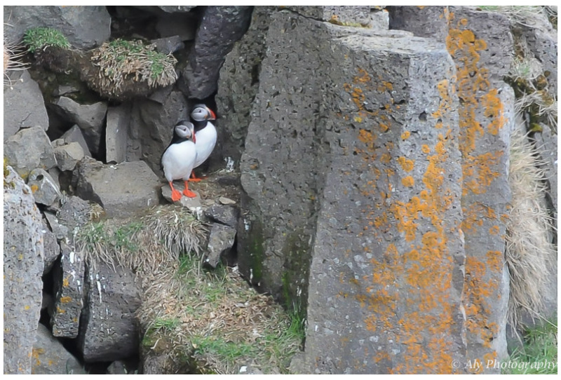 Papegaaiduikers / Puffins