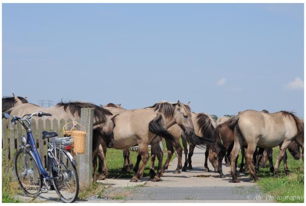 waiting for crossing wild Konik horses