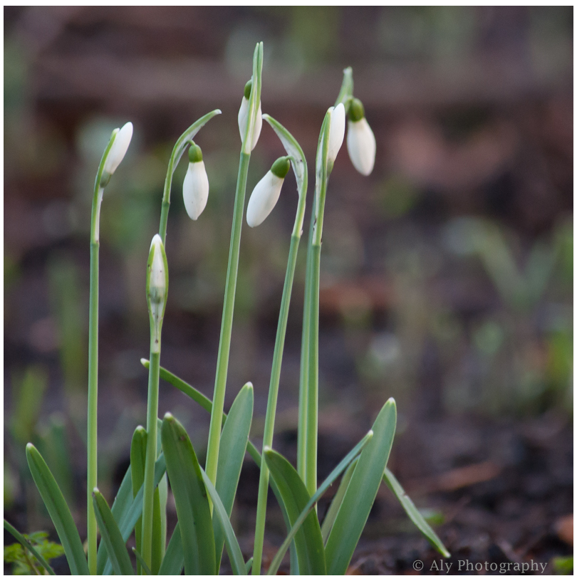 The first snowdrops in 2014