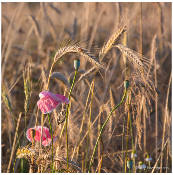 Pink poppies in the field