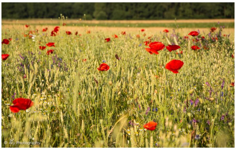 wildflowers between the grain