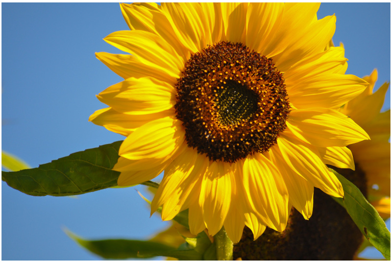 Sunflower ………..