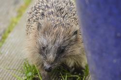 curious hedgehog