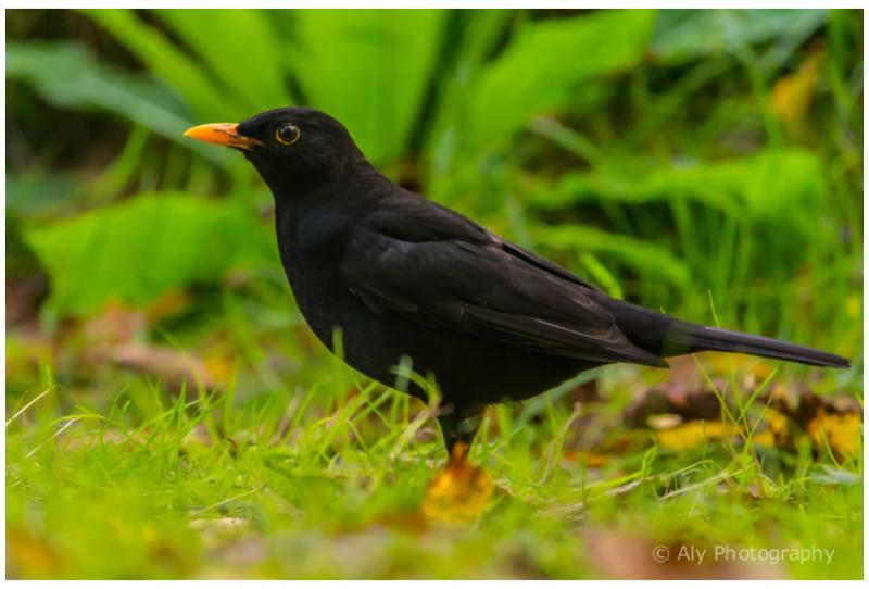 blackbird - merel