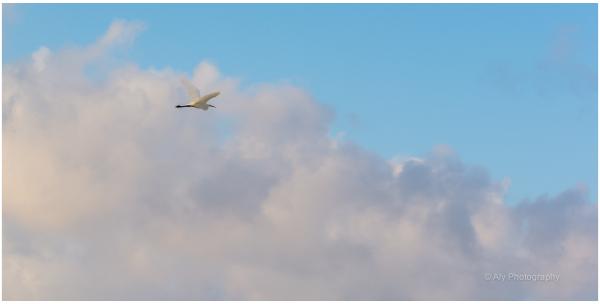 egret - zilverreiger