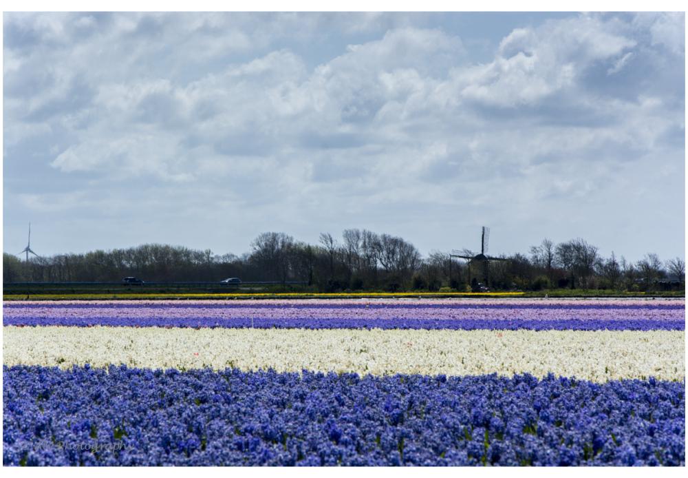 color hyacinths