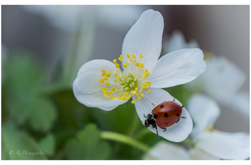 Lady bug 2 on Anemone nemorosa Bosanemoon