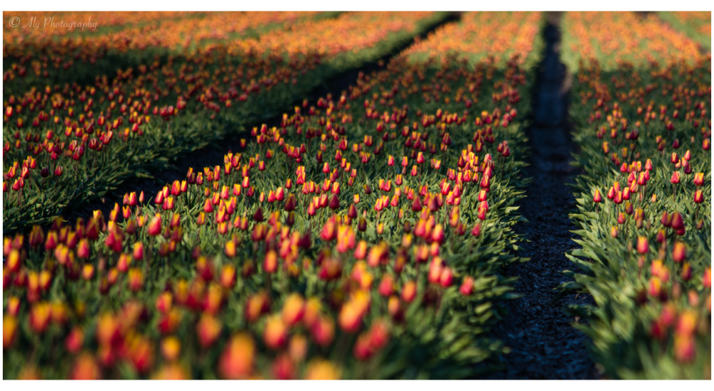 shadow over the two-color tulips