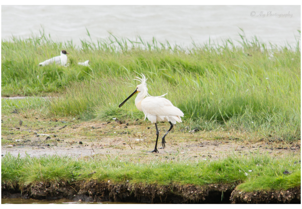 spoonbill in the wind