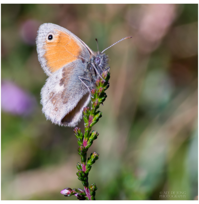 Hooibeestje   heath (Coenonympha pamphilus)