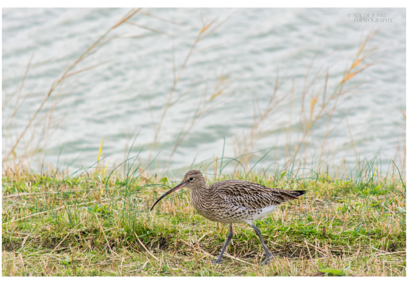 Last week I saw this curlew