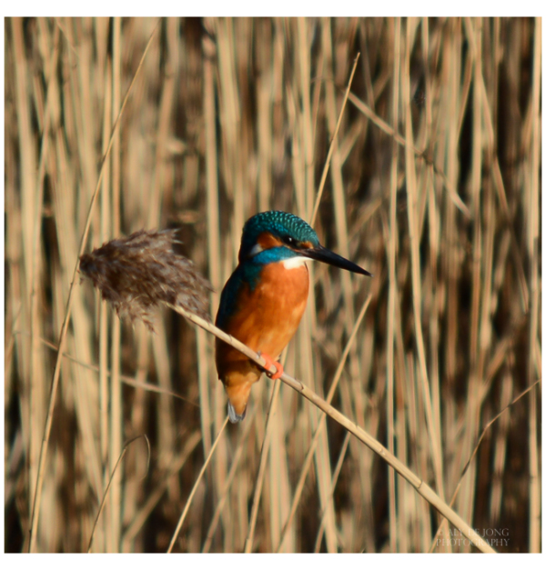 my first kingfisher :-)