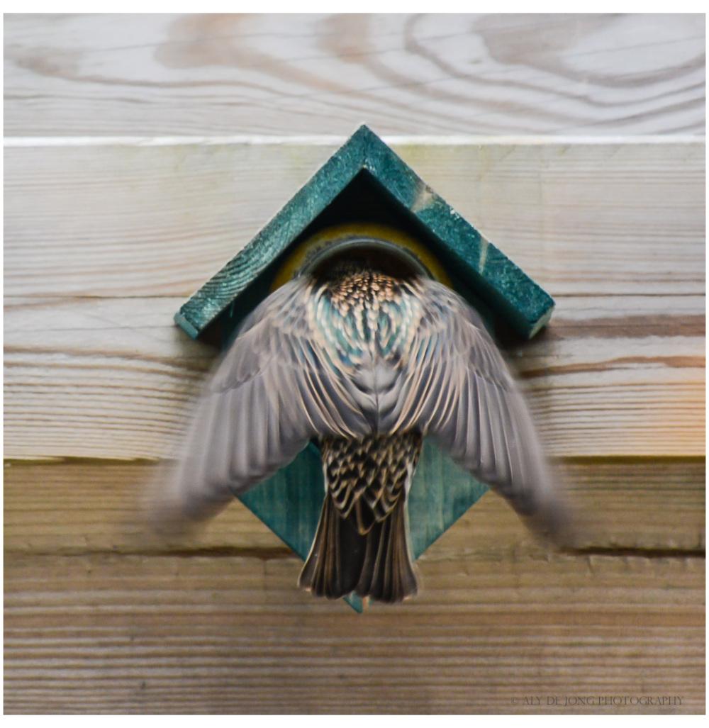 Starling - Spreeuw
