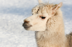 Lama (sheep camel) in the snow