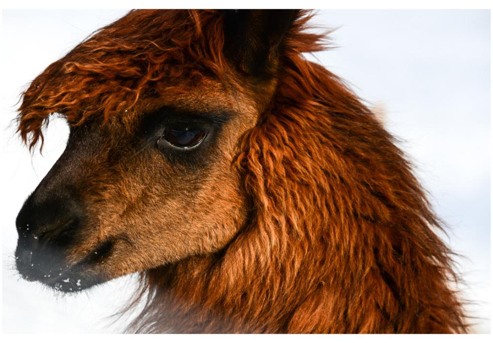 Lama brown