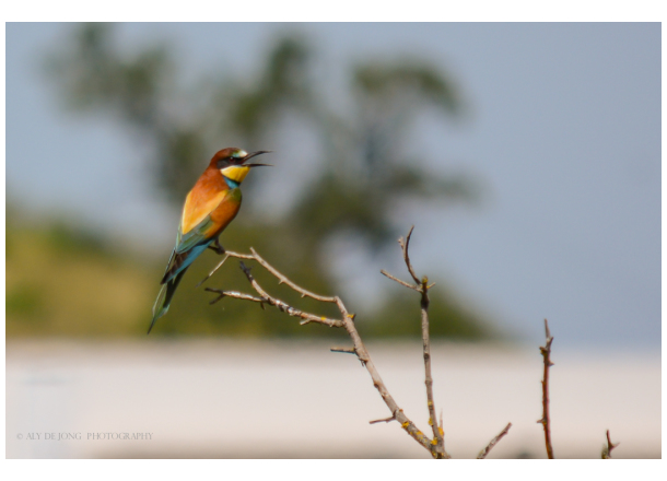 Bijeneter        Bee-eater