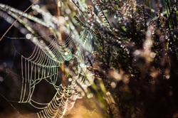 Web in dew
