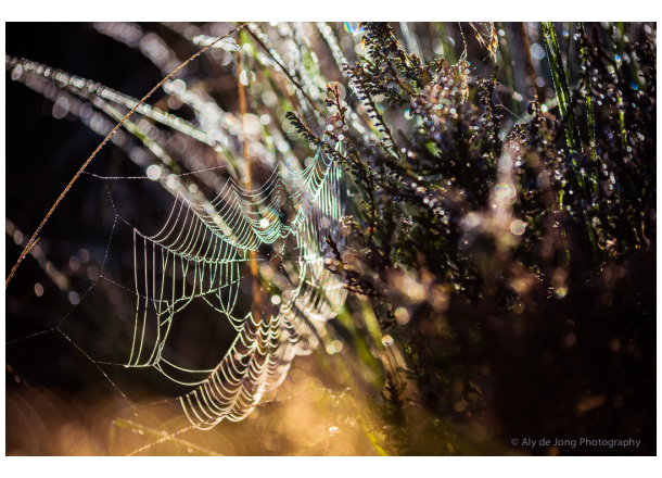 Web in dew