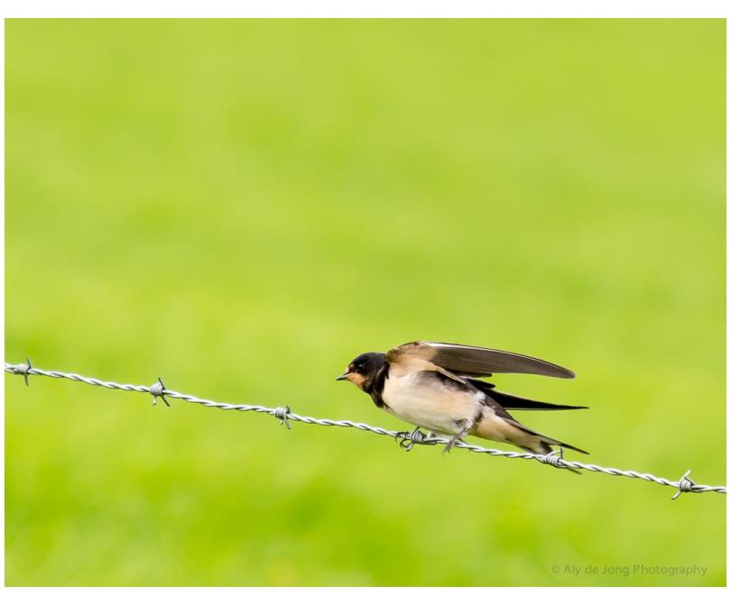 Swallow landing
