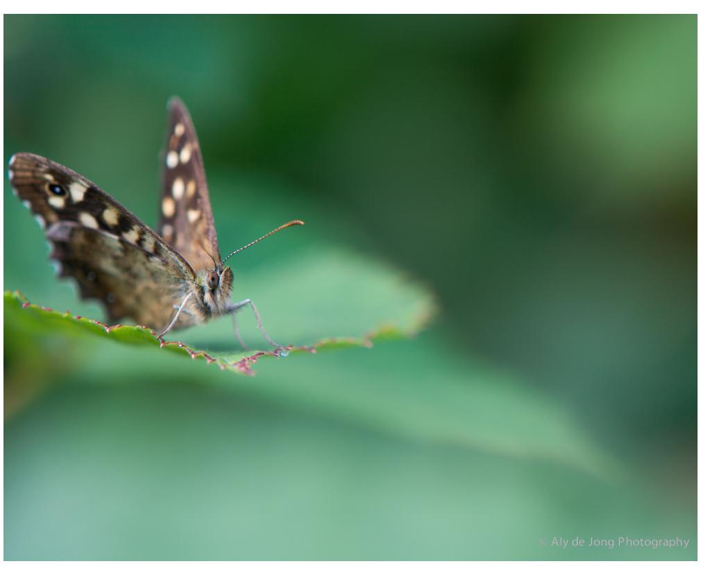 vlinder, big eyes  ,macro,