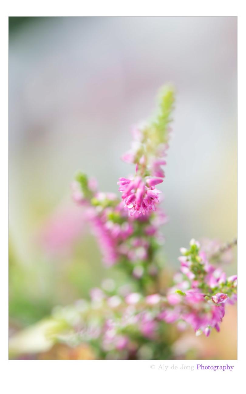Flowering heath - Bloeiende heide