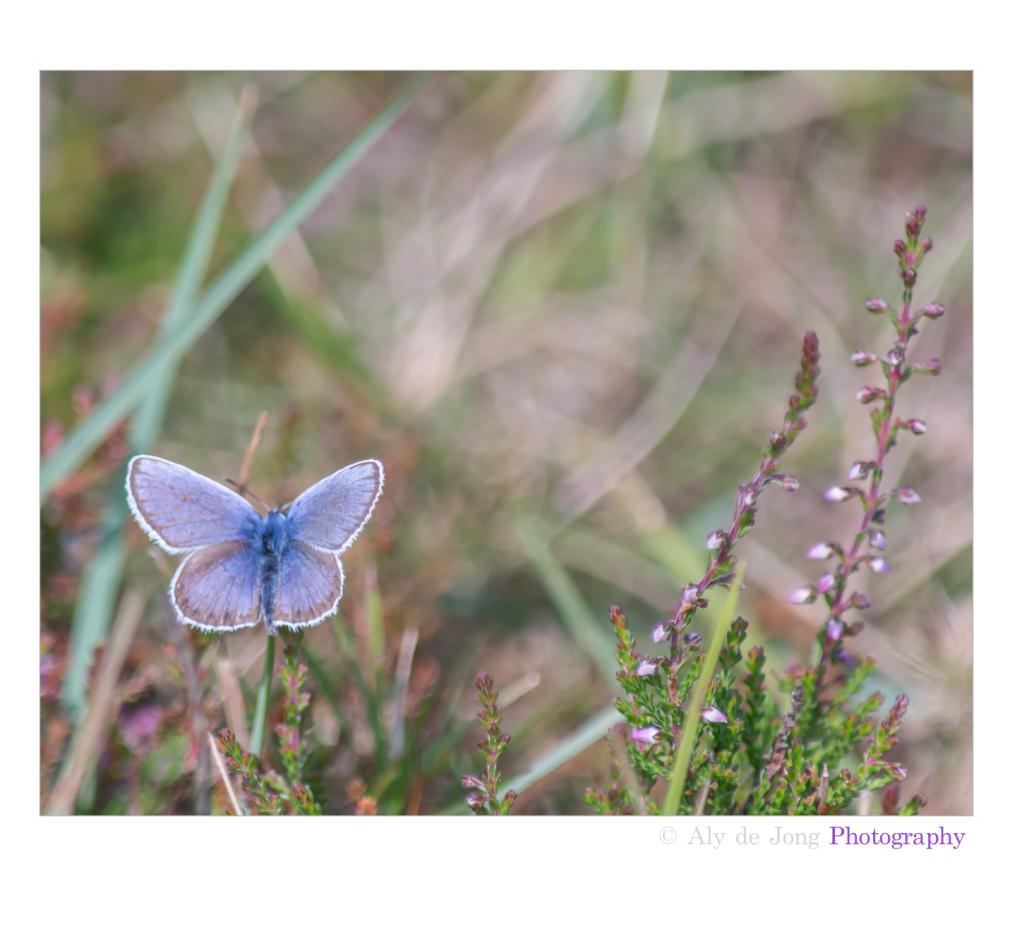Blue       ( icarusblauwtje-polyommatus)