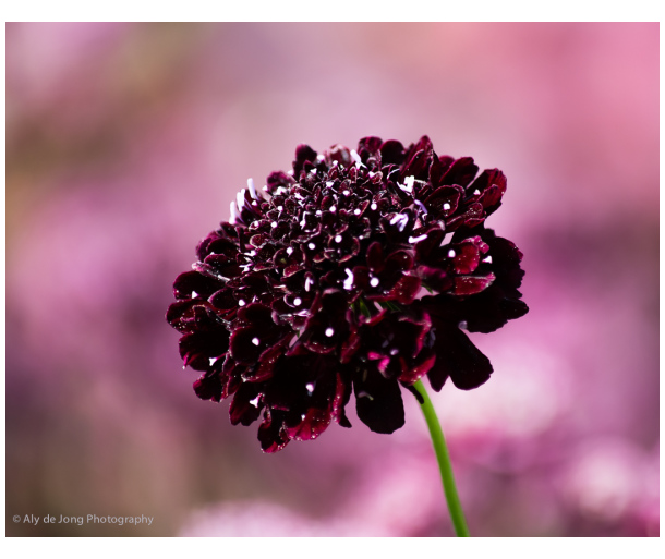 Dark red *Knautia*