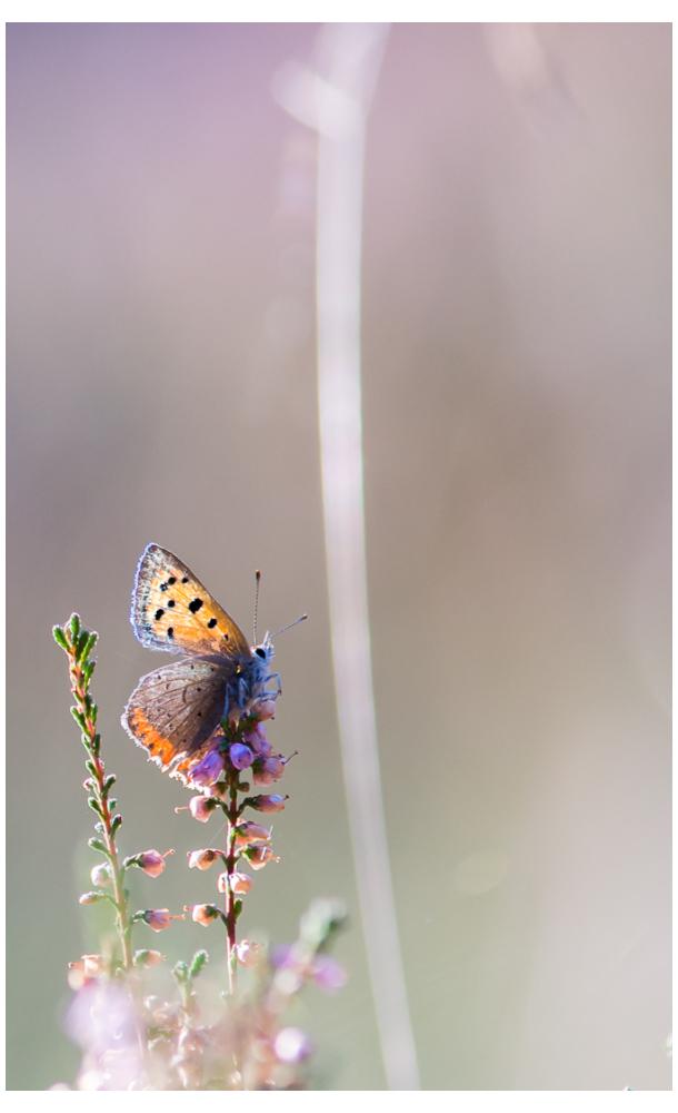 Kleine vuurvlinder - Lycaena