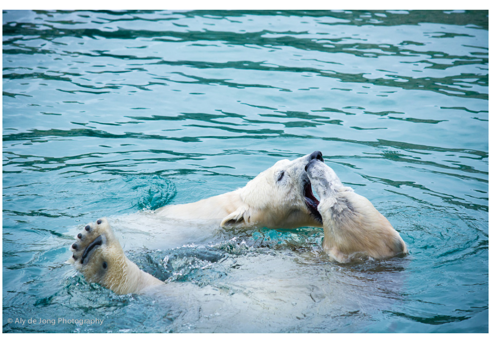 playing polar bears