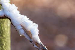 ice hair in the beech forest