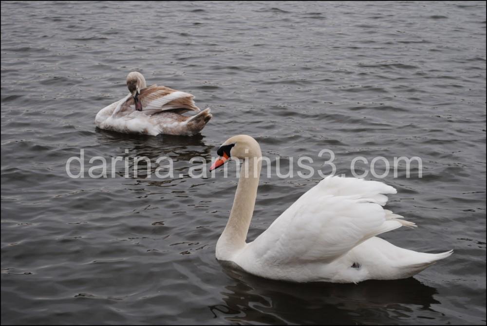 swan vltava prague