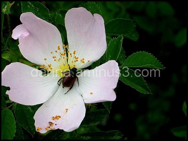 bug rose