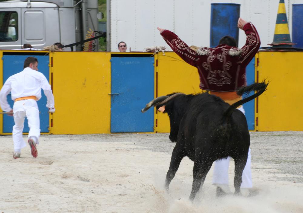 Vache en furie...