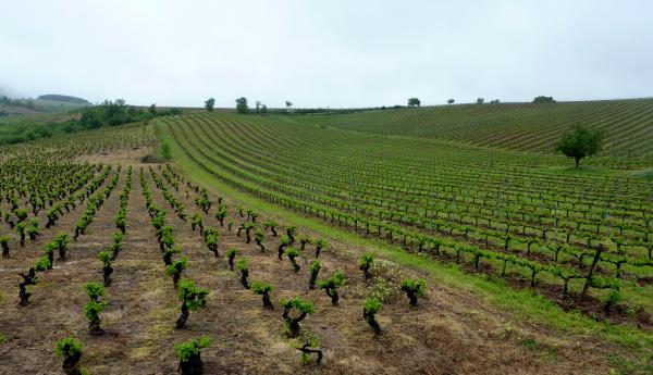 Vignes en Rioja