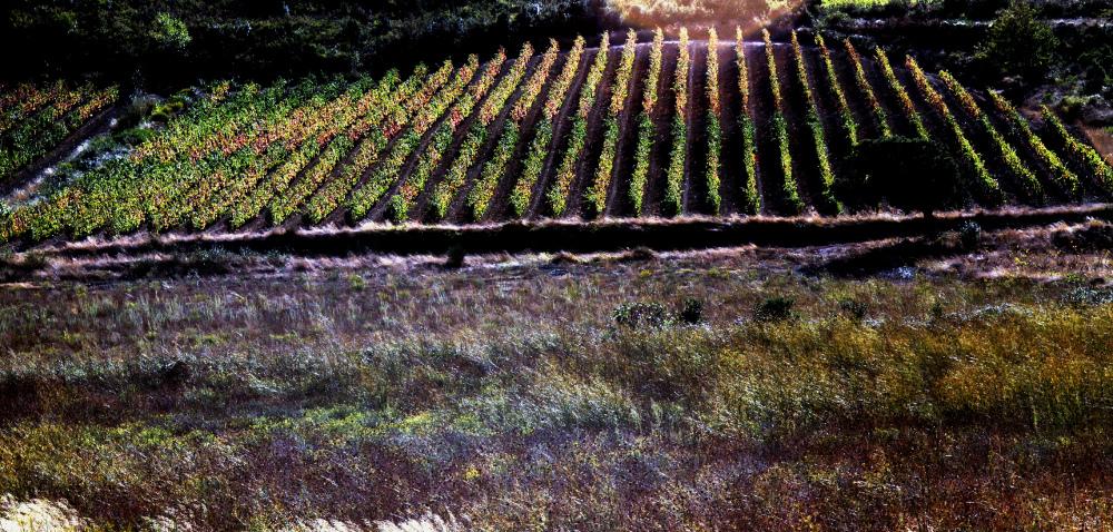 Soleil couchant sur les vignes