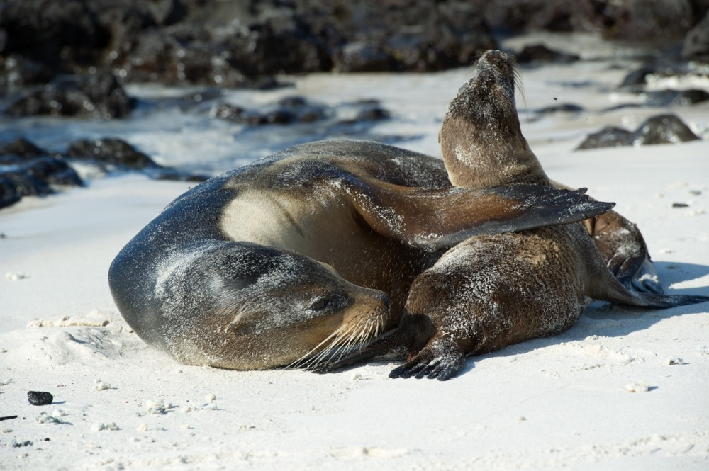 Sea Lion and Baby