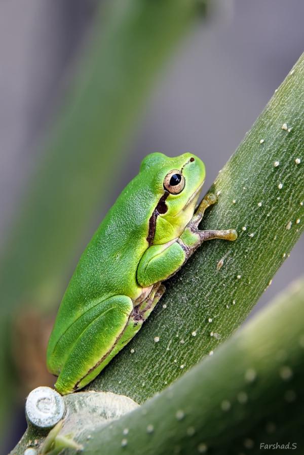 Green Hyla