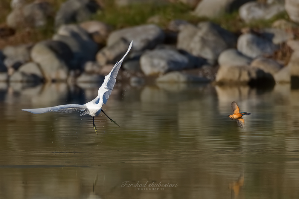 Egret vs Kingfisher