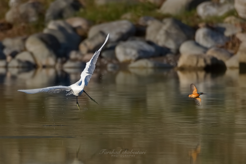 Egret vs Kingfisher