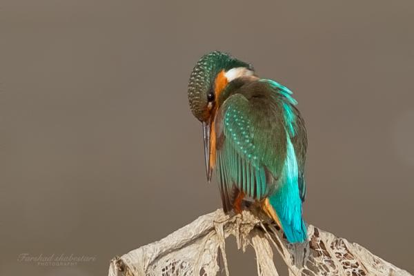 Kiingfisher