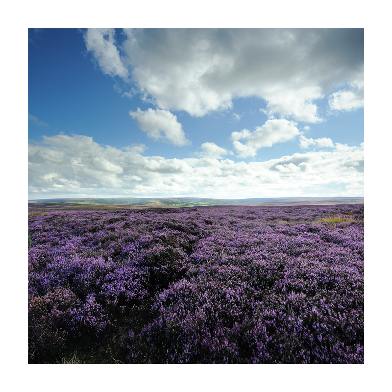North Yorkshire Moor Heather