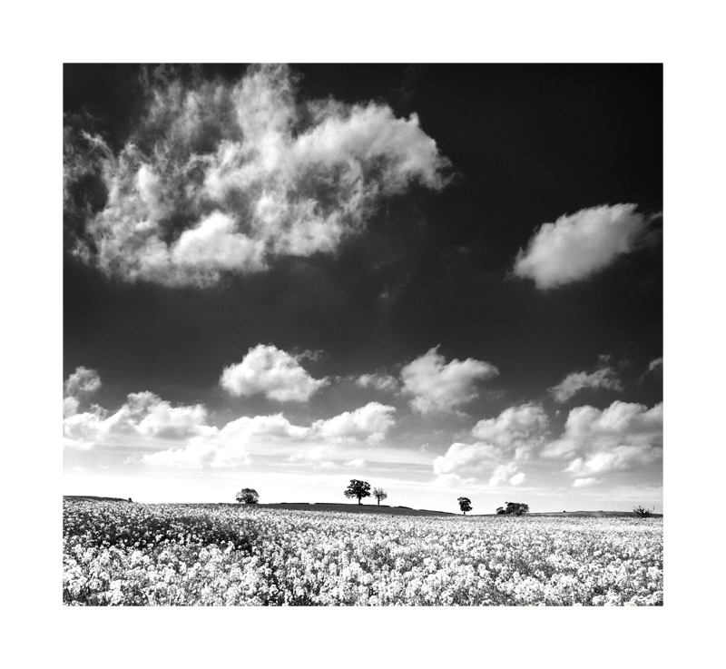 A view in black and white of a rape seed field