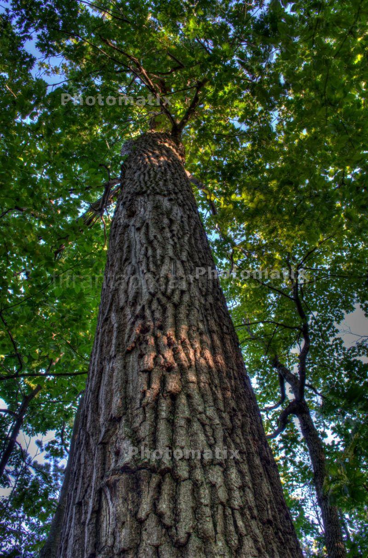 Tall Maple