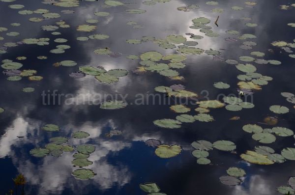 Lily Pad Reflections
