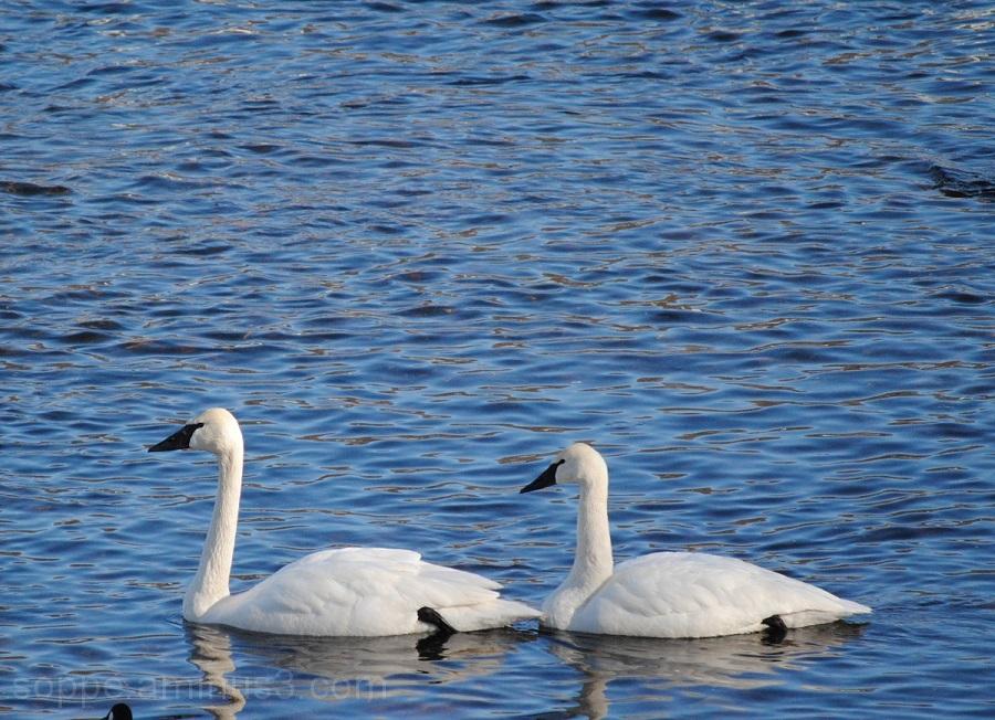 swan line