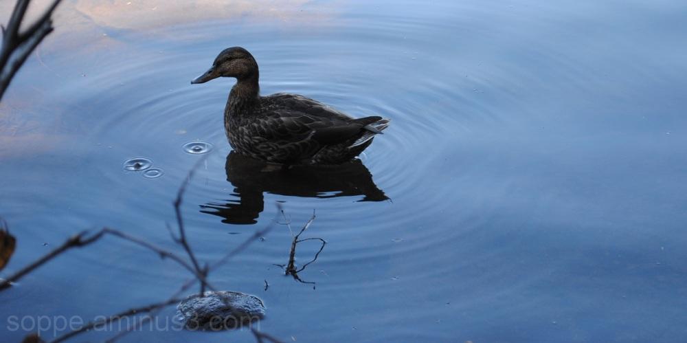 duck drops