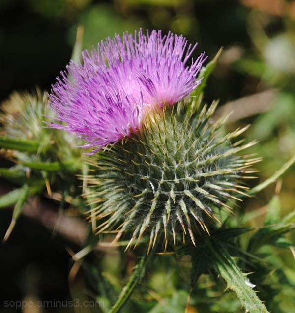Thistles are pretty too