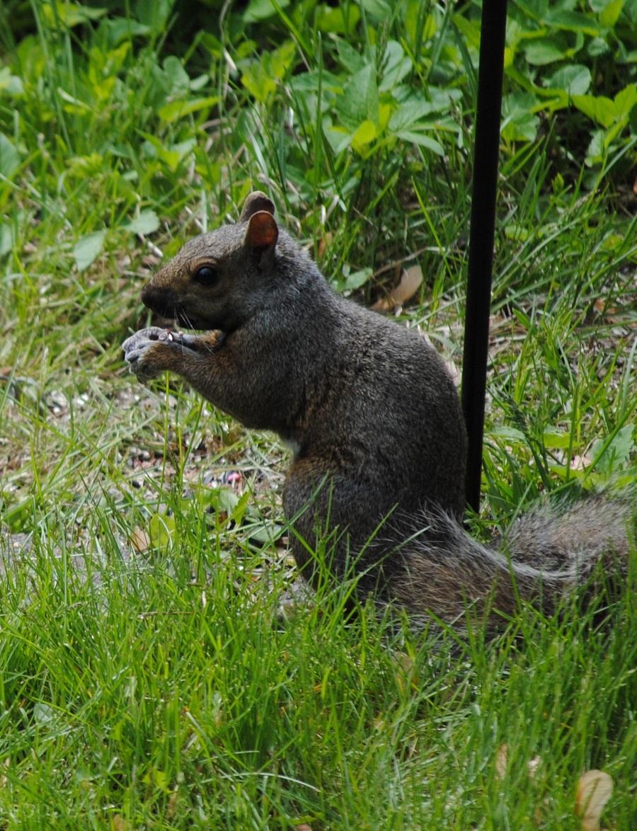 Squirrel: Nemesis