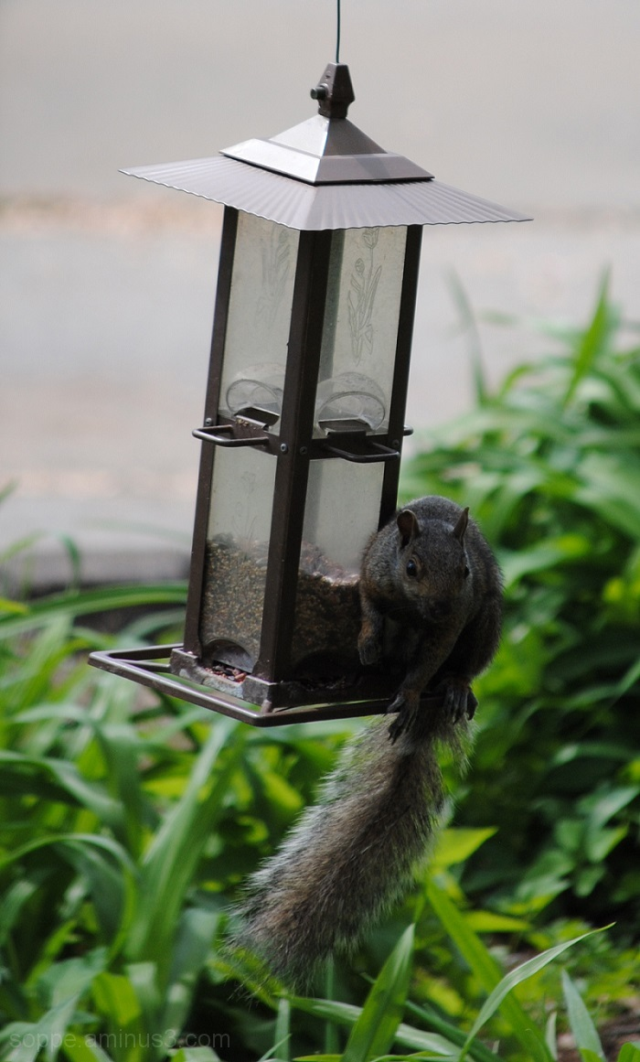 SOB: squirrel on birdfeeder
